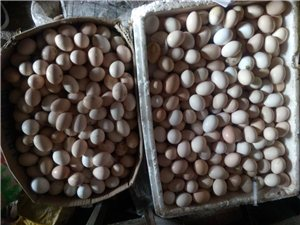 大量出售自家养殖柴鸡蛋