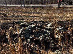 无良商家将烂鸡肉倒在土地里