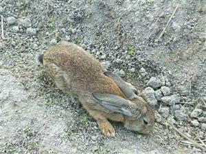 出售雜交野兔