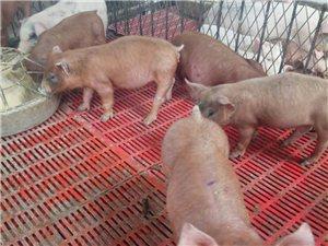 仔猪出售想致富吗
