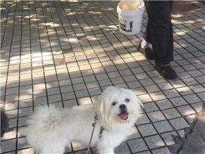 寻4.15日丢失一白色狮子狗在津典时代周围