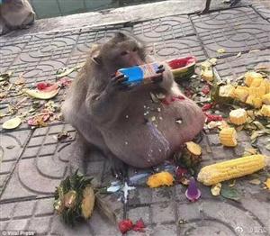 猴子的肚子好大啊,是怀孕了吗?
