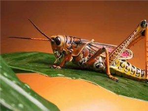 螞蚱,活螞蚱。可食用昆蟲