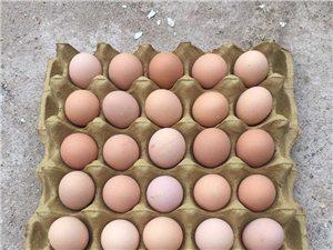 长期大量供应土鸡蛋 绿壳蛋