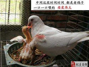 乳鸽,青年鸽