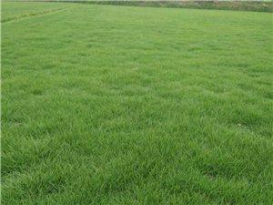 低价批发销售绿化草皮