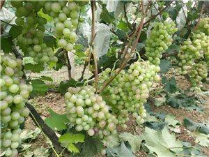 红提葡萄……葡萄,自家果园,无农药,欢迎采摘。