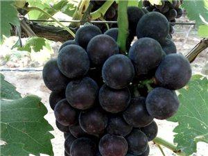 沙底夏黑葡萄成熟了