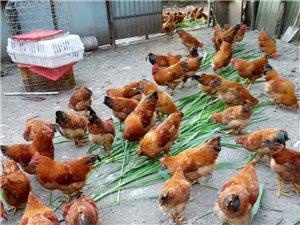 出售家養土閹雞