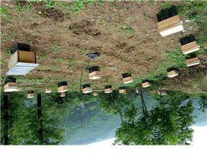 原生态蜂蜜  蜂种群  蜂王出售