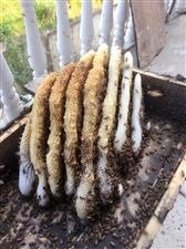 苍溪本地土蜂蜜
