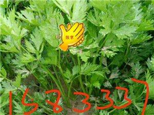 大量出售芹菜苗
