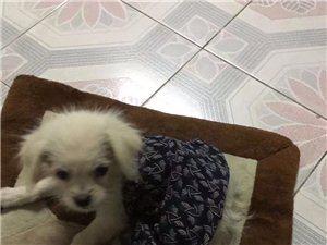 自己家兩個月小狗丟失希望可以找回