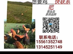 原生态,想要鸡的可以联系