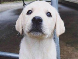 出售三个月大的拉布拉多幼犬,