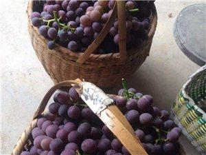 有機葡萄熟了