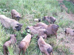 出售散養香豬,及香豬種苗