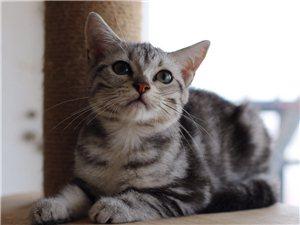 4个月家庭繁殖美短小母猫