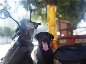 拉布拉多犬找个男朋友