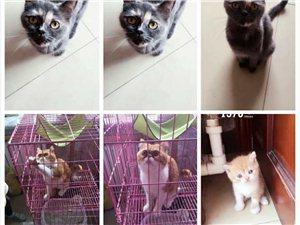 美國加菲貓種公1歲半,英短藍乳母貓1歲半。已經打完