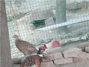 銷售商品七彩山雞