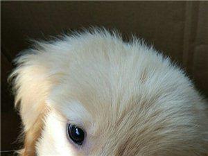 幼犬金毛低价卖