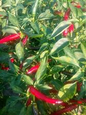 我�有小米椒已上市,需要的老板��系18286580220