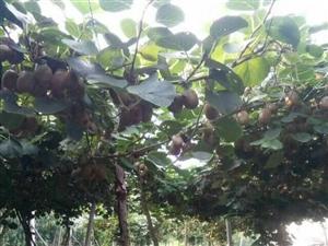 博山源泉有机猕猴桃,欲购从速,快递发货