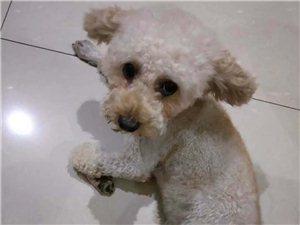 孝义自来水丢失泰迪犬一只