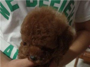 自己家生的泰迪幼犬
