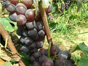 巨峰葡萄熟了