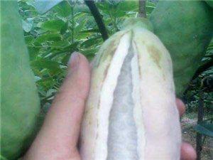 纯野生八月瓜