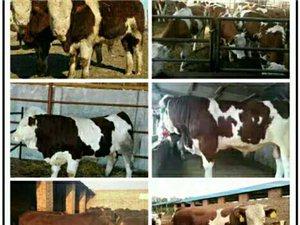 山西牛场出售大小肉牛犊