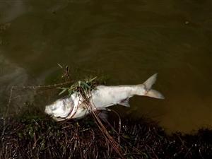 中海出现大量死鱼