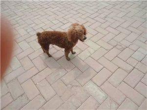 寻狗狗不是很纯种,但是从小养大,有了很深感情。孩子