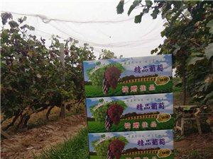 王吕村克伦生葡萄采摘园