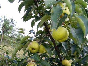 出售优质苹果梨