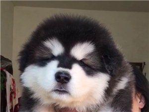 出售各种高中低档宠物狗