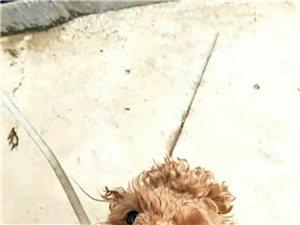 小额领养纯种泰迪犬