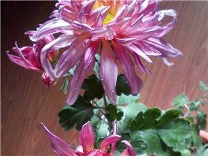 重阳节日,家中的菊花盛开的无比鲜艳