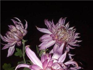 菊花即使在黑夜中也是如此美丽。