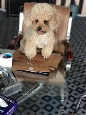 寻狗启示,米色泰迪污5日上午在腾辉走失,如有发现者,感谢金2000元
