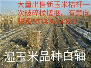 大量出售濕糧品種白軸新玉米桔桿一次破碎揉搓捆