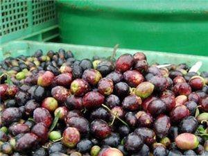 本人家中有油橄榄2000斤,求收购。
