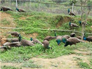 人工食用蓝孔雀养殖基地