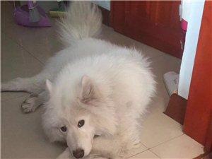 阿道夫,白色的萨摩耶犬,二餐厅附近丢失