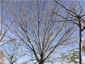 收大小规格苗木,白蜡,国槐,榆树,柳树,...