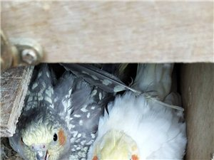 白色玄凤鹦鹉