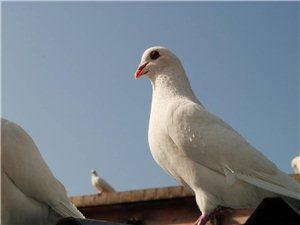 自家养的鸽子