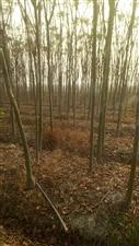 本人有几百颗栾树,直径三公分至八公分不等...